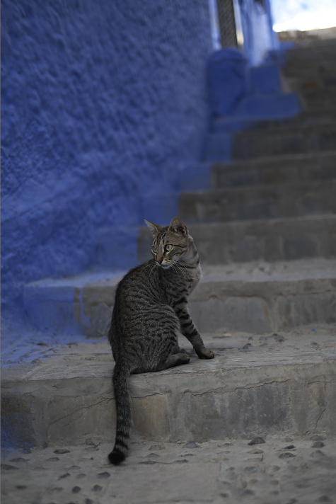 シェフシャウエンの猫